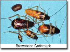 Brownband Cockroach