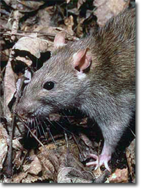 Rodents_NorwayRat_02.png