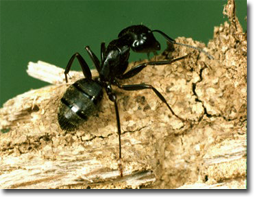 Ants_Carpenter_02.png